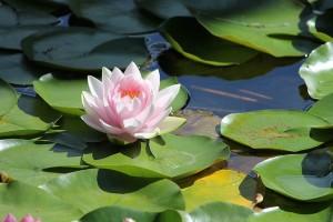 lotus dans piscine naturelle